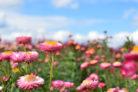 strohblume-winterhart