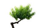 weide-bonsai