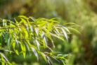 weide-einpflanzen